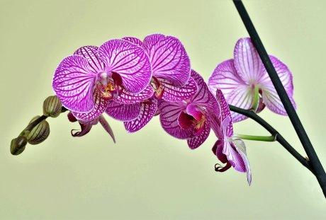 漂亮的蝴蝶兰图片