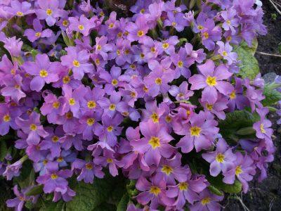 紫色的报春花