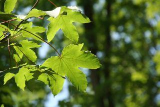 绿色的枫叶图片
