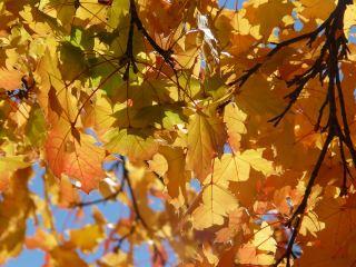 秋天的树叶枫叶