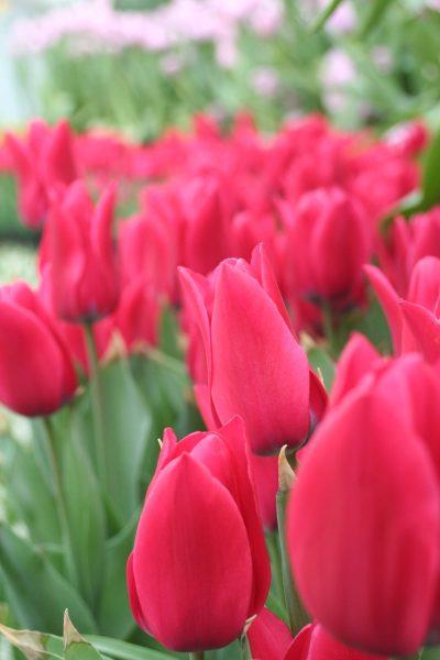 红色的花朵、郁金香