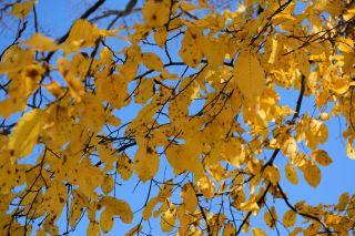 叶子、秋季、树