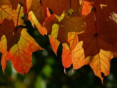秋天的落叶、秋季、枫叶