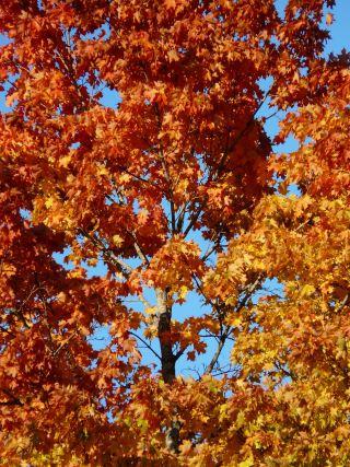 秋季森林、树、枫叶