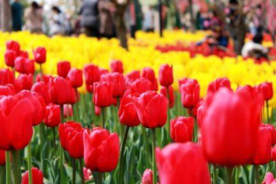 郁金香、花园、花