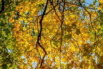 秋季、叶子、黄色
