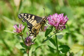 一只采花的金凤蝶