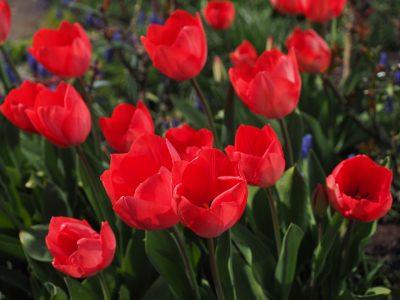 郁金香、红色、鲜花