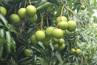 芒果、树、绿化