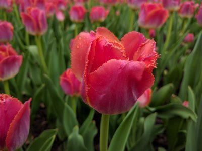 郁金香、花、春