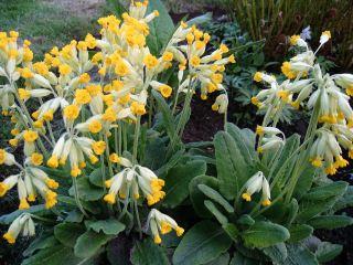 黄花九轮草的花