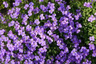 紫色南庭芥小花朵