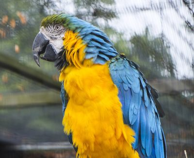 鹦鹉、动物、黄色