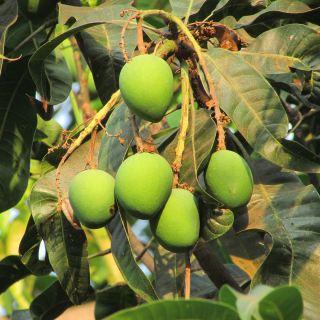 新鲜芒果、水果、多汁