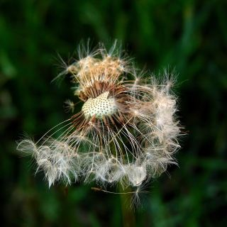 种子、蒲公英、植物