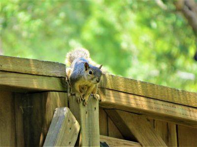 松鼠、篱笆、棕色