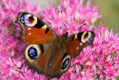 孔雀蝴蝶、Aglais、Io、Inachis、朱