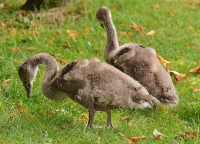天鹅、幼畜、鸟类