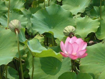 莲花、池塘、水百合