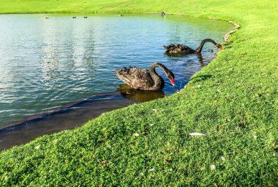 黑天鹅、池、水