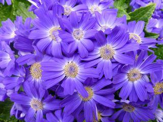 蓝色的花朵背景