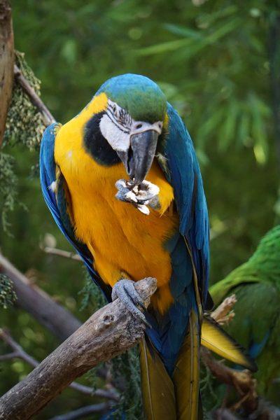 鹦鹉、鸟、动物