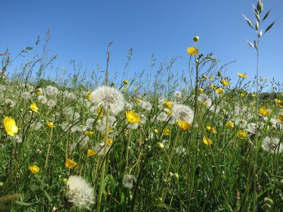 蒲公英、鲜花、草地