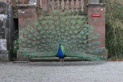 孔雀、鸟、男
