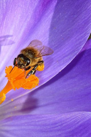 番红花花蕊上的蜜蜂