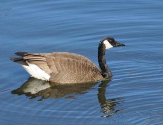 水中的一只黑雁