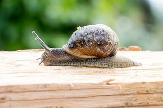 软体动物蜗牛特写