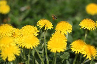 蒲公英、蜜蜂、昆虫纲