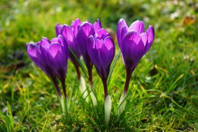 藏红花、鲜花、紫