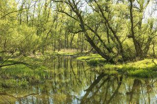 春天湿地湖岸树上刚长出的绿叶