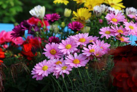 粉红色的菊科花朵