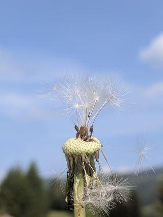 蒲公英、伞、指出花