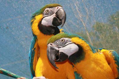 鹦鹉、黄色、非洲鹦鹉