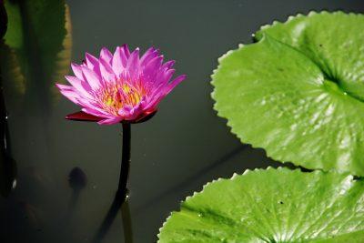 莲花、池、叶