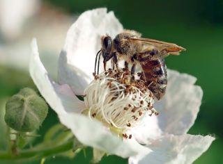 蜜蜂在白色的花朵上采集花粉