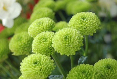 绿色的菊花
