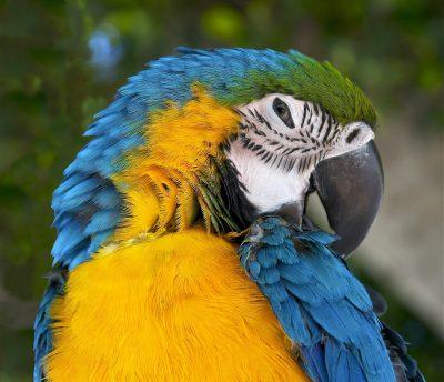Ara、Ararauna、蓝色和黄色的金刚鹦鹉、蓝色和金鹦鹉