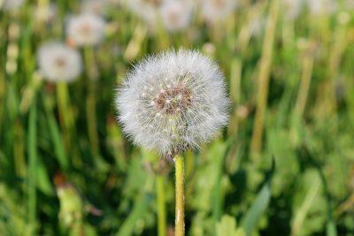 蒲公英、植物区系、自然