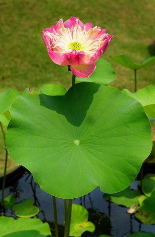 印度莲花、粉红色、开放