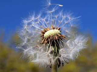 蒲公英、自然、植物区系