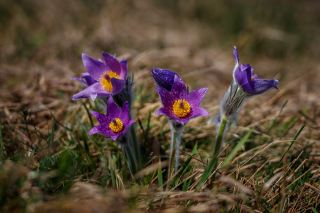 紫色的白头翁花