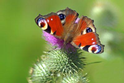 孔雀蝴蝶、Edelfalter、蝴蝶