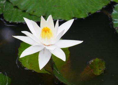 花、植物区系、池