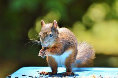 松鼠、Nager、啮齿动物