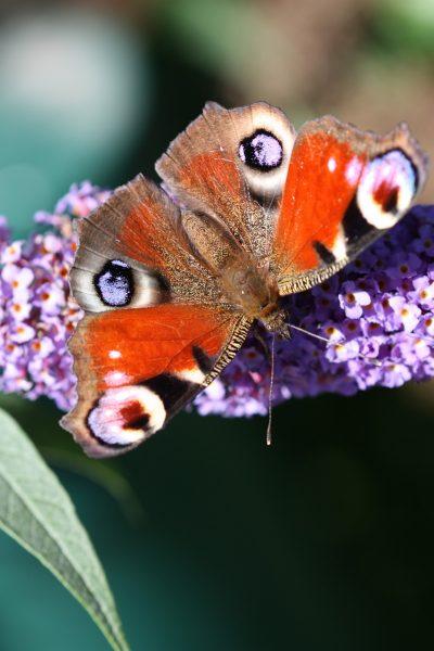 蝴蝶、性质、昆虫