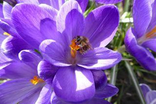 藏红花花蕊上的蜜蜂采花粉